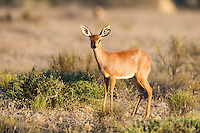 Female Steenbok, Namaqua National Park, Northern Cape, South Africa,