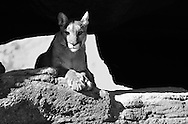 A mountain lion basks in the Arizona sun