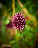 Allium. Image taken with a Nikon D850 camera and 60 mm f/2.8 macro lens