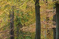 Beech (Fagus sylvatica), Klampenborg Dyrehave, Denmark