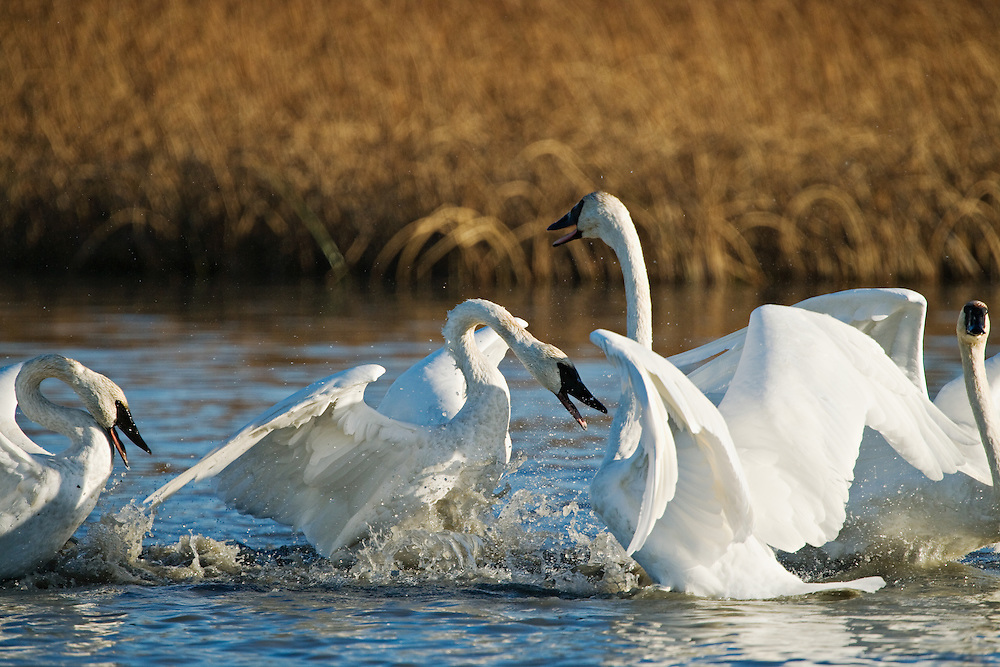 Trumpeter Swans (Cygnus buccinator) dualing for territory in Potter Marsh outside of Anchorage, Alaska. Southcentral. Fall. Morning.