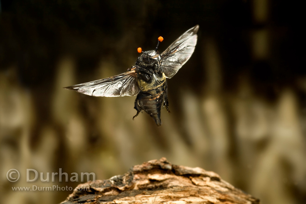 A carrion beetle (Nicrophorus carolinensis) in flight, Texas.