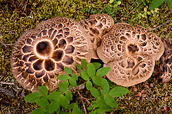 Hedgehog mushrooms found along the Horseshoe Lake Trail in Denali National Park and Preserve in Alaska.
