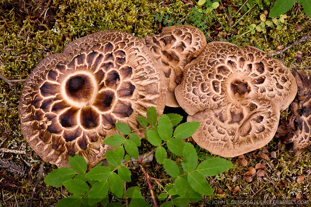 Hedgehog mushrooms found along the Horseshoe Lake Trail in Denali National Park and Preserve in Alaska.