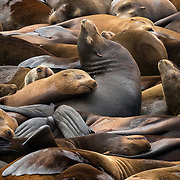 California sea lions. Oregon.