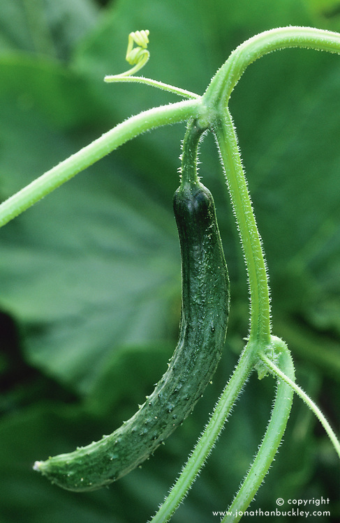 Cucumber 'Burpless Tasty Green'