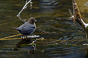 American dipper foraging in a pond along the Yaak River in early winter. Yaak Valley in the Purcell Mountains, northwest Montana.