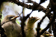 "The Whitehead (Mohoua albicilla) or Popokotea is a small species of passerine bird endemic to New Zealand. I spotted these little guys waiting for their mother to feed them on Tiritri Matangi wildlife sanctuary island in the Haruki Gulf near Auckland. ....The whitehead held a special place in Maori culture, especially as the hakuturi, a multitude of small birds sometimes called Te Tini o te Hakuturi - ""The myriads of Hakuturi"", the spirit guardians of the forest. In a Ngati Mahuta story, the culture hero Rata went into the forest and cut down a tree to make a canoe, but failed to perform the proper placatory rites to Tane, god of the forest. Whiteheads and Riflemen whistled shrilly at him in admonishment and gathered together the pieces of the tree until it stood whole again. This happened several times until Rata showed remorse and the birds felled the tree and made the canoe for him."