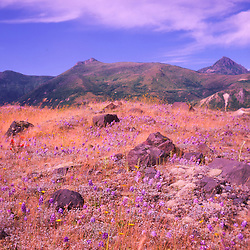 Wildflowers Dot the Landscape at Mt. St. Helens National Volcanic Monument, Washington, US