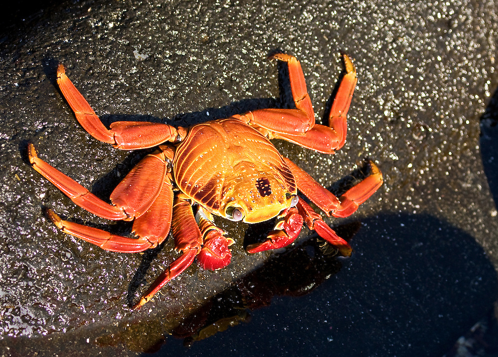 Espanola Sally Lightfoot Crab