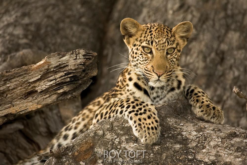A leopard (Panthera pardus) at rest, Botswana