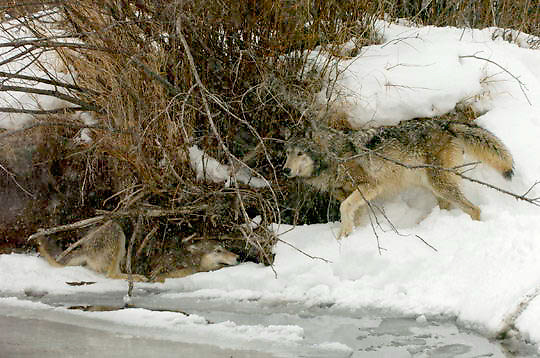 Gray Wolf (Canis lupus) Pair near creek. Winter. Montana.  Captive Animal.