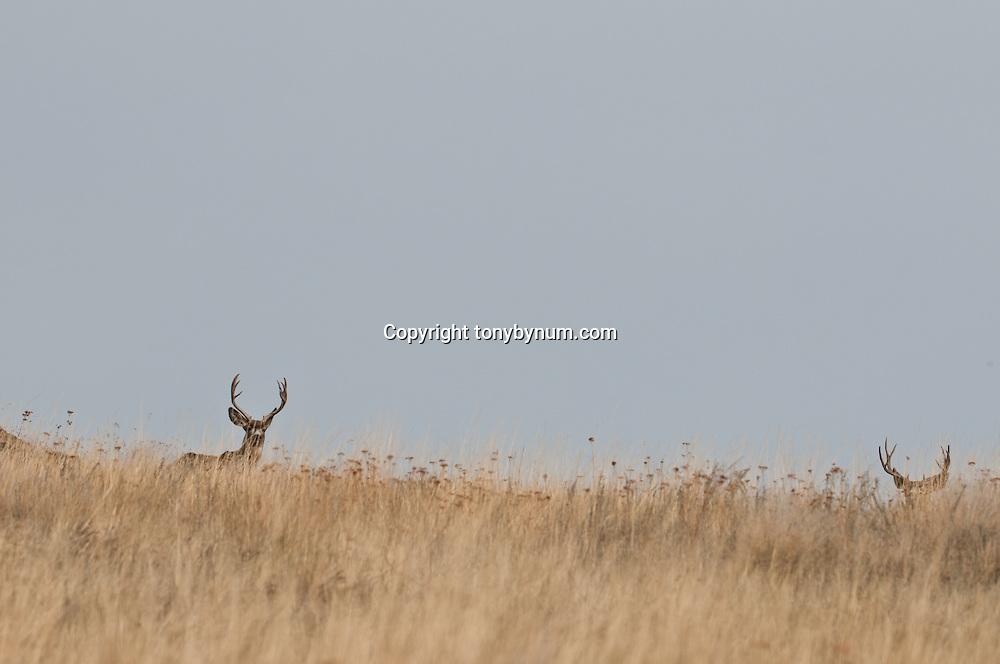 two mule deer bucks standing in tall grass on hill blue sky background
