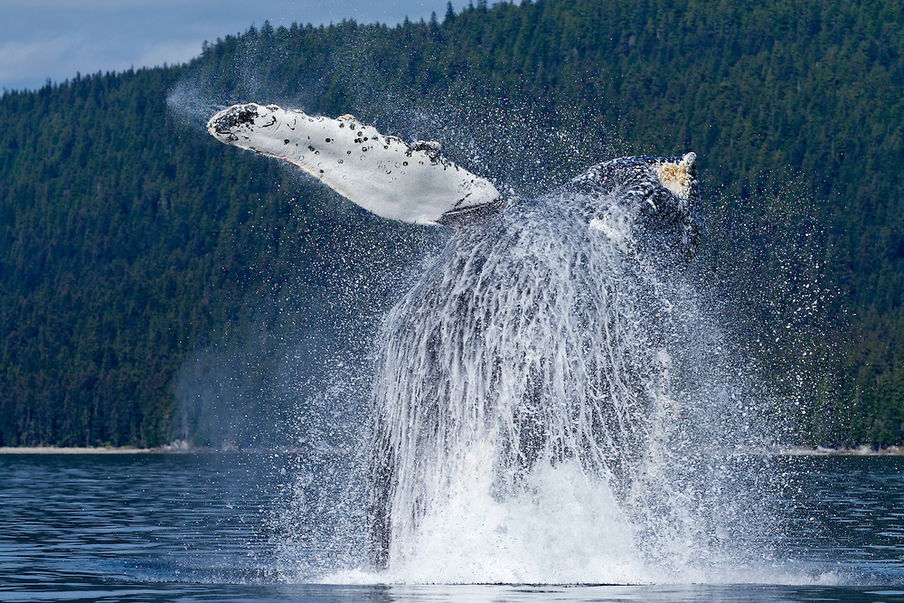 USA, Alaska, Angoon, Humpback Whale (Megaptera novaengliae) breaches with enormous splash of water along Chatham Strait