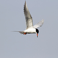 A Tern in flight looking for food in a saltmarsh. The Tern is possibly a Forster's Tern or a Common Tern which are difficult to tell apart when in breeding plumage. Of the Family Sternidae, Genus Sterna. Edwin B. Forsythe National Wildlife Refuge, Oceanville, New Jersey, USA