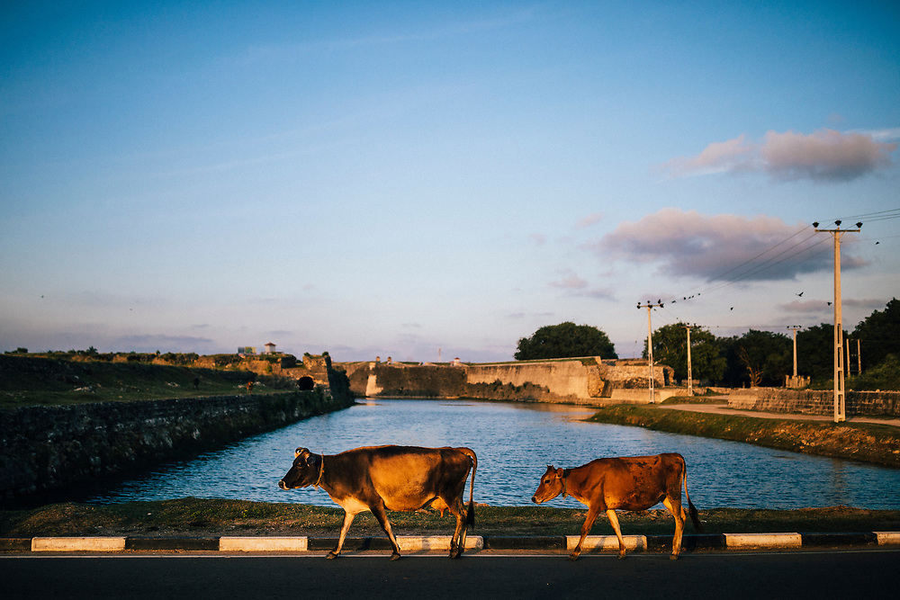 Jaffna, Sri Lanka -- February 9, 2018: Cows walking at sunset along the water outside of Jaffna Fort.