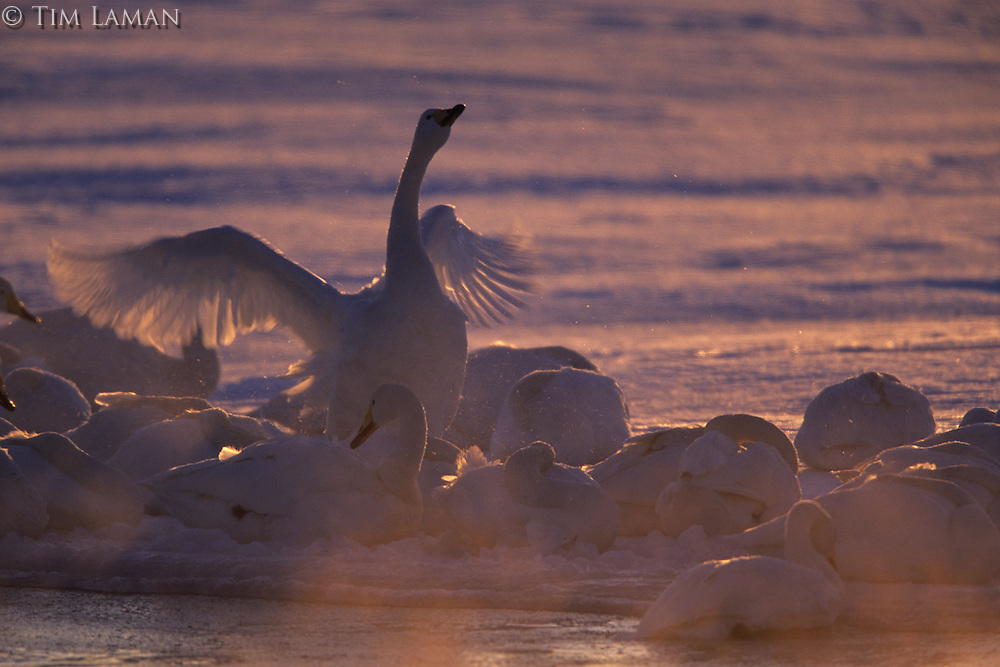 Whooper swans (Cygnus cygnus)  on a misty morning.