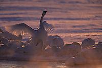 Whooper swans (Cygnus cygnus)  on a misty morning.