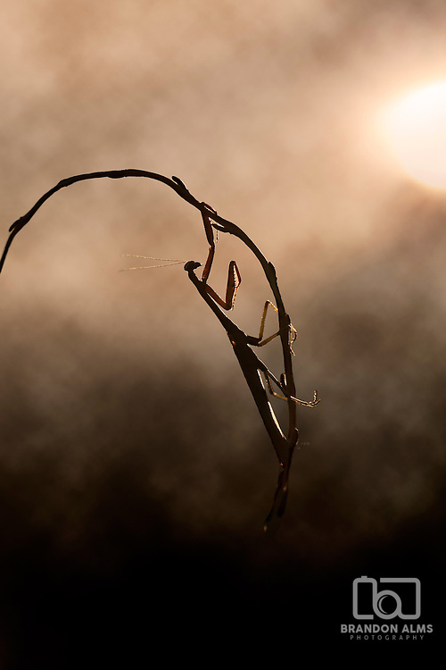 A macro shot of a praying mantis warming up in the morning sunlight