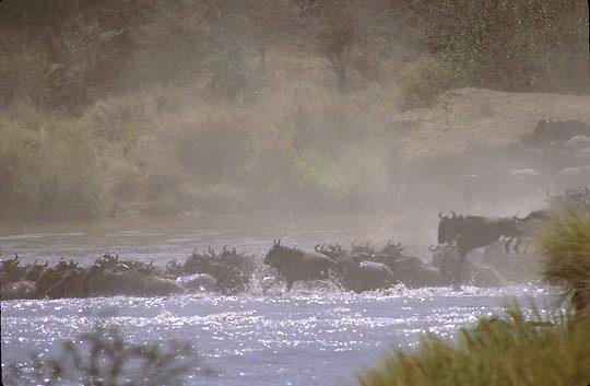 Blue Wildebeest, (Connochaetes taurinus) Migration. Crossing Mara River.Masai Mara Game Reserve. Kenya. Africa.