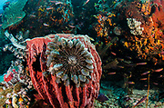 Giant Barrel Sponge (Xestospongia)<br /> & Feather stars<br /> Raja Ampat<br /> West Papua<br /> Indonesia