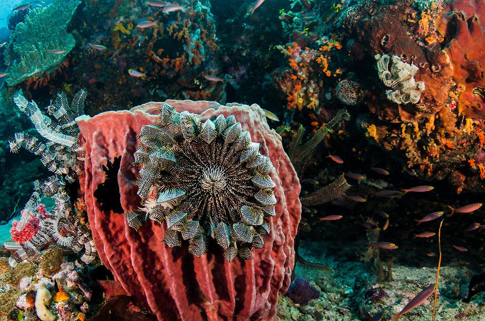 Giant Barrel Sponge (Xestospongia)<br /> &amp; Feather stars<br /> Raja Ampat<br /> West Papua<br /> Indonesia