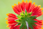 Gaillardia flower backlit close-up. Also known as Joe Bell flowers on the Outer Banks of NC.