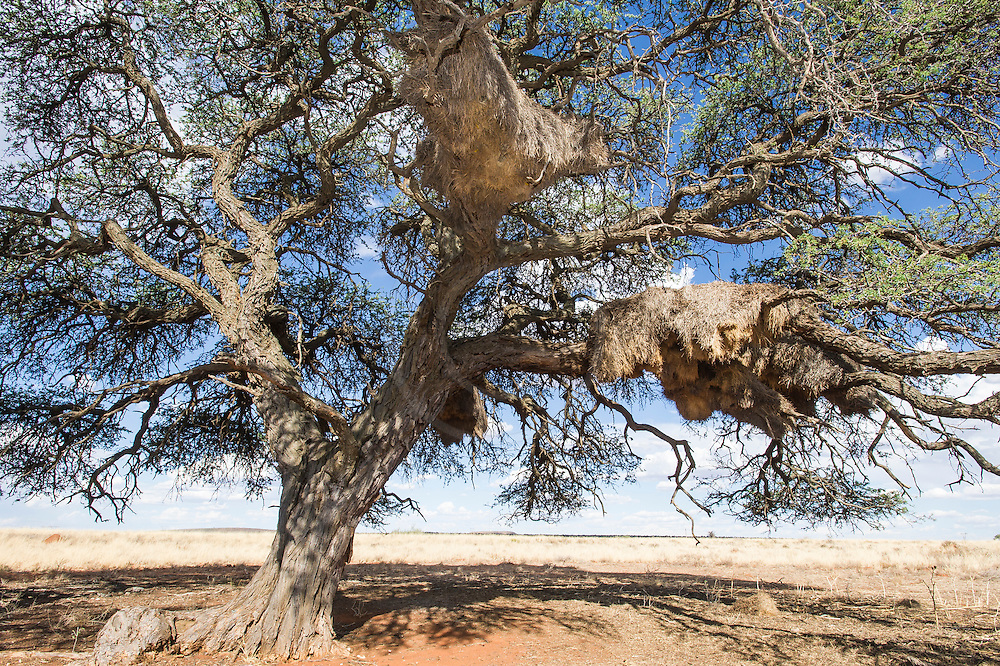 Sociable Weaver nests placed in the boughs of a large camel thorn acacia tree, Benfontein Nature Reserve, Northern Cape, South Africa