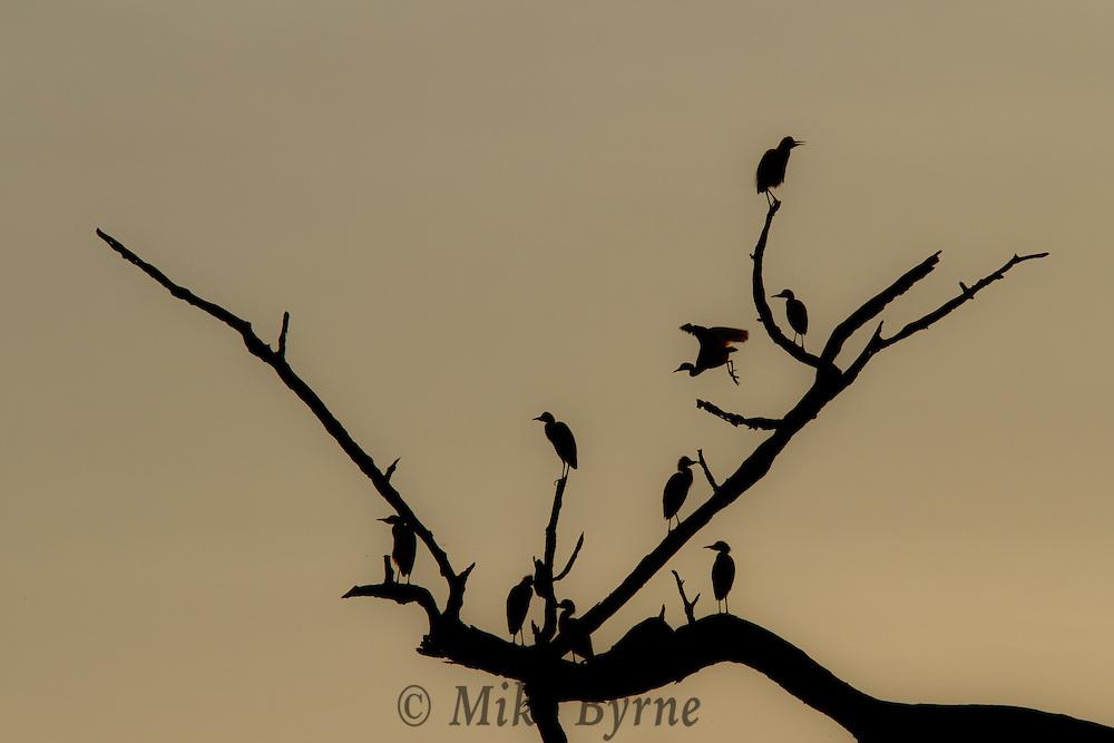 Blue and Gold Macaws (Ara ararauna) perched on branches near Jardim de Amazonia (Mato Grosso, Brazil)
