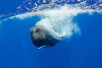 Sperm whale, Physeter macrocephalus, Pico, Azores, Portugal