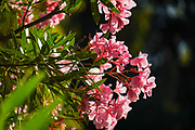 Flowering pink Oleander (Nerium oleander) bush. Photographed in Greece in June