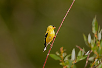 The American Goldfinch a year round resident of most of the United States but only winters in the lower states.