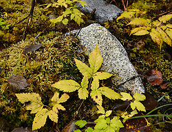 Fall foliage along the Trail of Time near the Mendenhall Glacier
