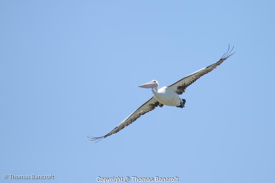 The Australian pelican turned with fixed wings and started to sail right toward us. He looked like a equisite ballerina coming down from a high jump. As it slid by me, I could see the details of its bill, pouch and feathers.