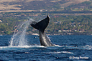 humpback whale, Megaptera novaeangliae, lobtailing or fluke-slapping in front of Kukio Resort, Kona Coast of Hawaii Island, the Big Island ( Central Pacific Ocean )