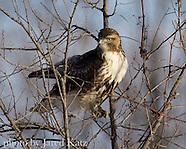 Birds - US