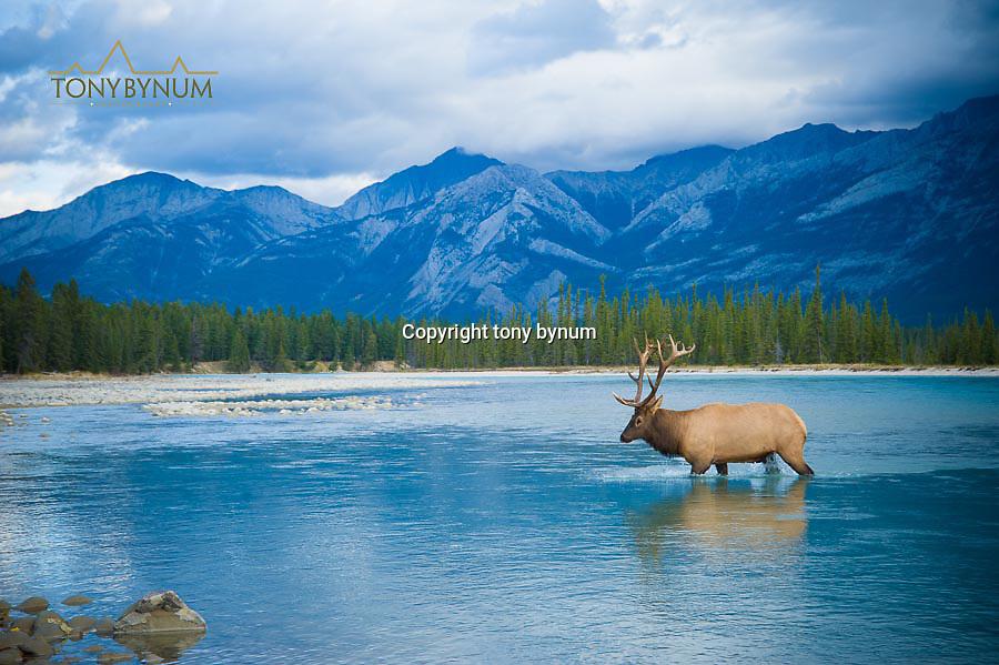 elk crossing large western river