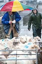 © Licensed to London News Pictures. 31/01/2014. The weekly sheep market at Builth Wells is poorly attended as a heavy band of strong wind and rain sweeps across Wales. Builth Wells, Powys, UK. Photo credit : Graham M. Lawrence/LNP