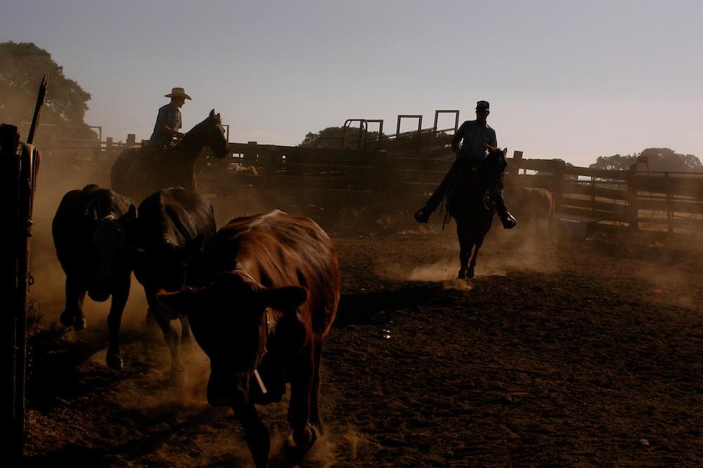 Summer cattle roundup in the Sierra Nevada foothills, Calaveras County