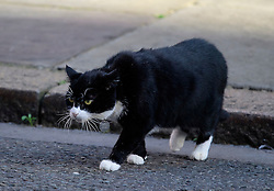 © Licensed to London News Pictures. 13/09/2016. London, UK.  PALMERSTON the Foreign & Commonwealth Office cat, outside 10 Downing Street in London on September 13, 2016. Photo credit: Ben Cawthra/LNP