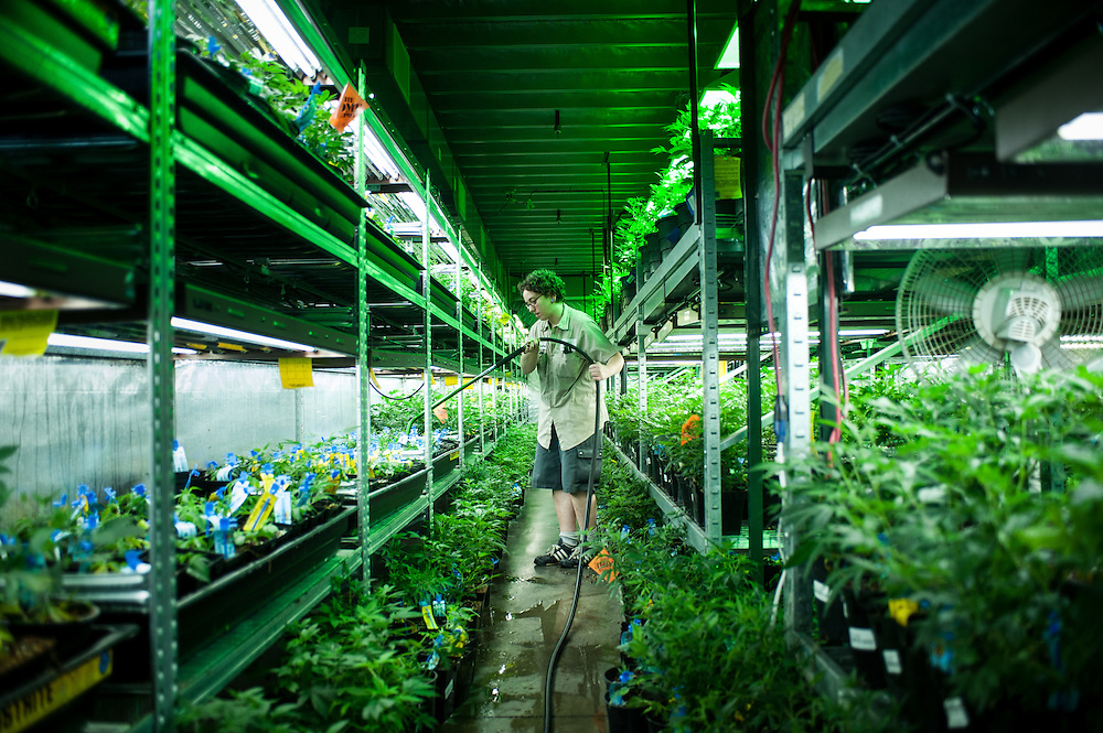 The vegetative room at Medicine Man. Most marijuana sold in Colorado is grown from clones - cuttings off of nonflowering plants - and these plants are kept in a vegetative, non-flowering state as they are grown. Plants must be watered by hand multiple times each week.