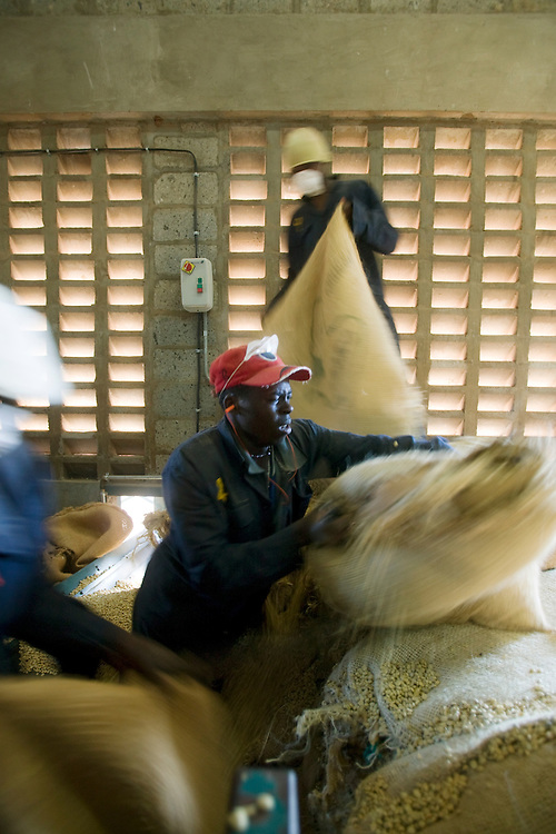Africa, Kenya, Ruira, Workers cutting open burlap bags of  freshly picked Arabica coffee beans inside sorting facility  Socfinaf's Oakland Estates coffee plantation