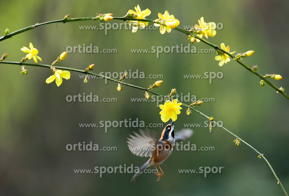 A bird flies to winter jasmine blossom in Wuxi City, east China's Jiangsu Province, March 17, 2016. EXPA Pictures &copy; 2016, PhotoCredit: EXPA/ Photoshot/ Pan Zhengguang<br /> <br /> *****ATTENTION - for AUT, SLO, CRO, SRB, BIH, MAZ, SUI only*****