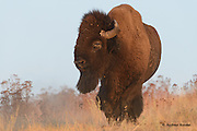The last light of the evening warms this bison bull at the National Bison Range.