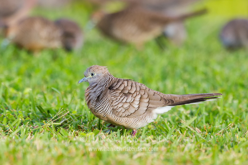 A zebra dove stands in short grass