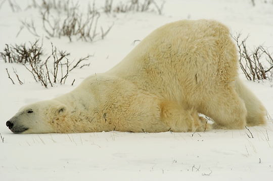 Polar Bear (Ursus maritimus) Adult sliding and pushing uppper body on snow covered ground to cool down. Churchill, Manitoba. Canada. Winter.