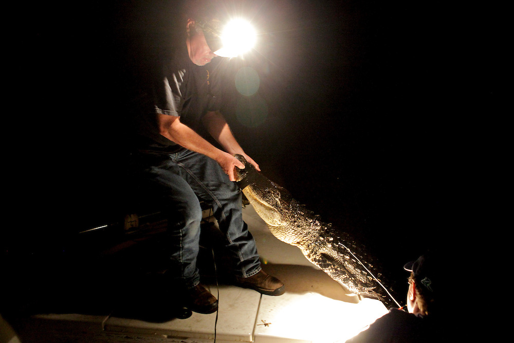 After using the bang stick to kill an alligator and taping its mouth shut, Ernie Preshard drags the reptile onto the bow of his boat while Bruce Essen looks on while the pair hunted on Lake Trafford on Sept. 2, 2010. Greg Kahn/Staff