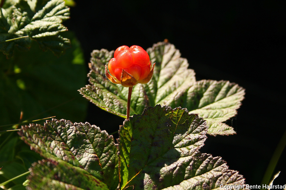 Rubus chamaemorus, cloudberry. Multe.