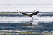 A juvenile bald eagle (Haliaeetus leucocephalus) pulls a midshipman fish out of the water along Hood Canal near Seabeck, Washington. Hundreds of bald eagles congregate in the area early each summer to feast on the migrating fish, which get trapped in oyster beds at low tide.