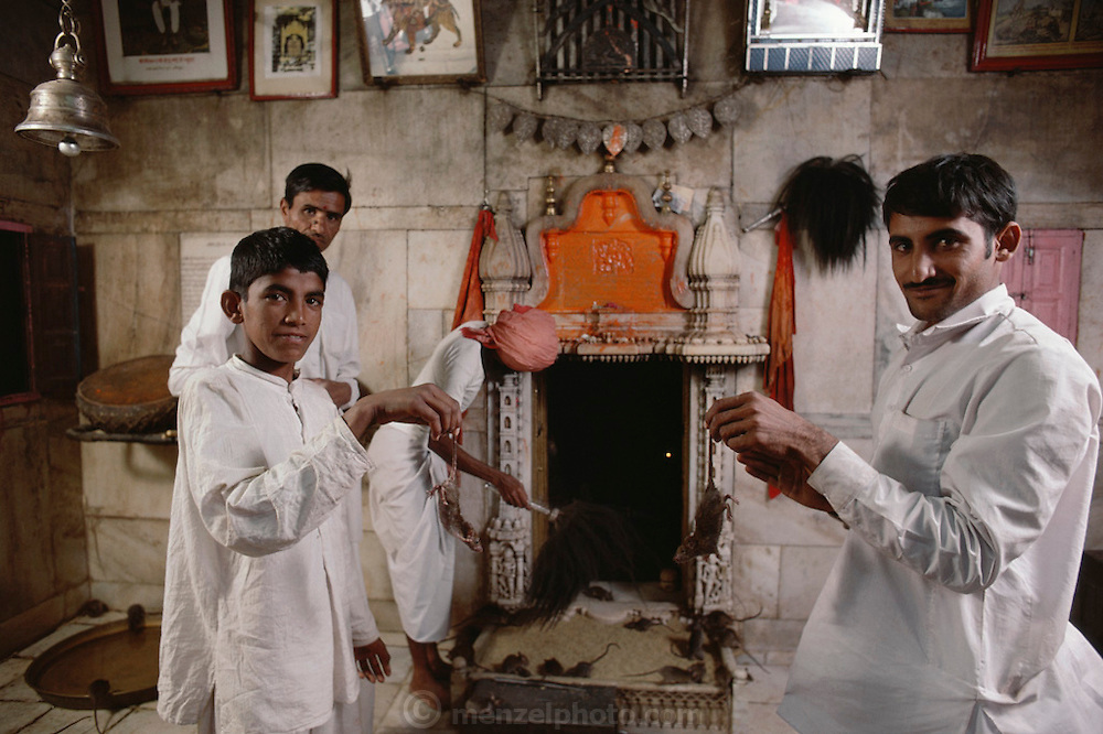 Priests holding two rats by the tails during a ceremony at the Hindu Rat Temple in Deshnoke, Rajasthan, India. This ornate Hindu temple was constructed by Maharaja Ganga Singh in the early 1900s as a tribute to the rat goddess, Karni Mata..